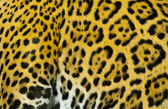 Jaguar' Fur — Stock Photo