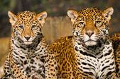 Jaguar Family — Stock Photo