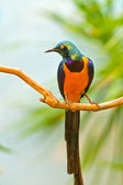 Golden-breasted Starling — Stock Photo