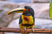 Pale-mandibled Aracari — Stock Photo