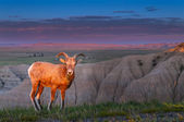 Badlands Bighorn Sheep at Sunrise — Foto Stock