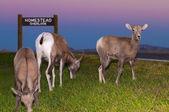 Badlands owiec bighorn w pobliżu homestead wychodzą — Zdjęcie stockowe
