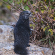 Rare Black Marmot Standing up — Stock Photo