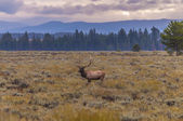 Adult Male Elk and his herd - Grand Tetons — Stock Photo