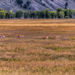 The pronghorn - Antilocapra americana — Stock Photo
