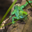 Green Lizard — Stock Photo
