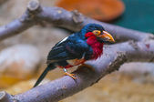 Bearded Barbet - Lybius dubius an African barbet. — Stock Photo