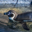 Penguin in the water — Stock Photo