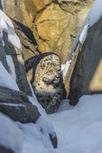 Léopard des neiges — Photo