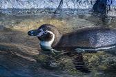 Pinguino in acqua — Foto Stock