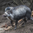 Stock Photo: Visaywarty pig, Sus cebifrons