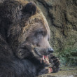 Brown Bear eating — Stock Photo #37660615