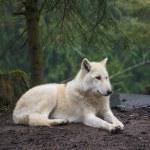 lobo ártico — Foto de Stock
