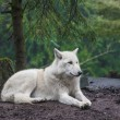 Stock Photo: Arctic Wolf