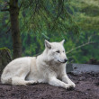 Polarwolf — Stockfoto
