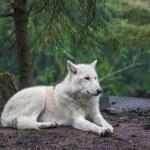 北極のオオカミ — ストック写真