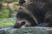 Brown Bear eating — Stock Photo