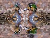 Two beautiful Baikal Teal Ducks reflection in the water — Stock Photo