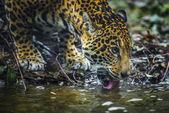 Young Beautiful Jaguar — Stock Photo