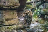 Young Beautiful Jaguar — Stock Photo