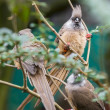 Speckled Mousebird — Stock Photo