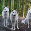 Arctic Wolfs — Stock Photo