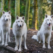 Arctic Wolfs — Photo