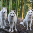 Stock Photo: Arctic Wolfs