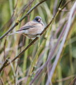 Dark eyed junco bird — Stock Photo