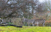 Zebras on the green grass — Stock Photo