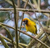 Uccello Tessitore mascherato — Foto Stock