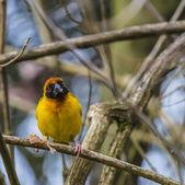 マスクされた織工の鳥 — ストック写真