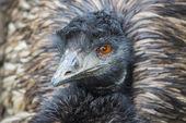 Emu Bird close-up — Stock Photo