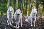 Kutup Wolfs — Stok fotoğraf