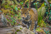 Beautiful Young Jaguar — Stock Photo