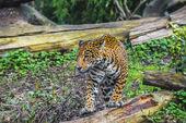 Linda jovem jaguar — Fotografia Stock