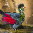 Beautiful Turaco Bird taking a bath — Stock Photo #38132383