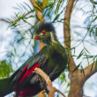 Beautiful Turaco Bird — Stock Photo #38132509