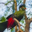 Beautiful Turaco Bird — Stock Photo #38132541