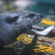 River Otter — Stock Photo