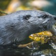 River Otter — Stock Photo #38133145
