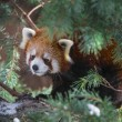 Постер, плакат: Red Panda in the pine trees