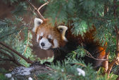 Red Panda in the pine trees — Stock Photo