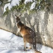 Kangaroo playing in snow — Stock Photo #41237167