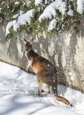 Kangaroo playing in the snow — Stock Photo