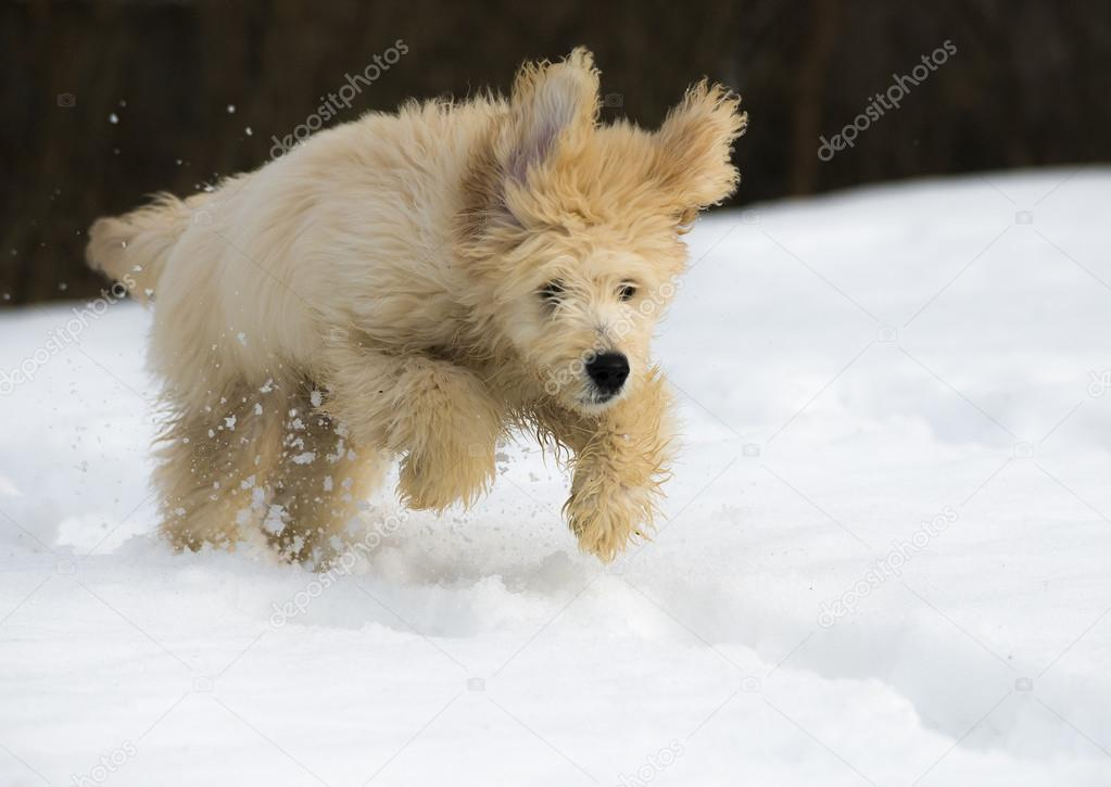 Cute Puppies Playing in Snow Cute Young Labradoodle Puppy Playing in The Snow Photo by Kwiktor