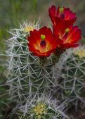Mojave mound cactus - Echinocereus triglochidiatus — Stock Photo