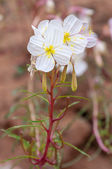 Oenothera pallida - pale evening-primrose — Foto Stock