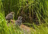 Rock Ptarmigan Chicks — Stock Photo