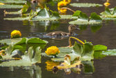 Little brown baby duckling and water lilies - Cub Lake Rocky Mountains — Стоковое фото